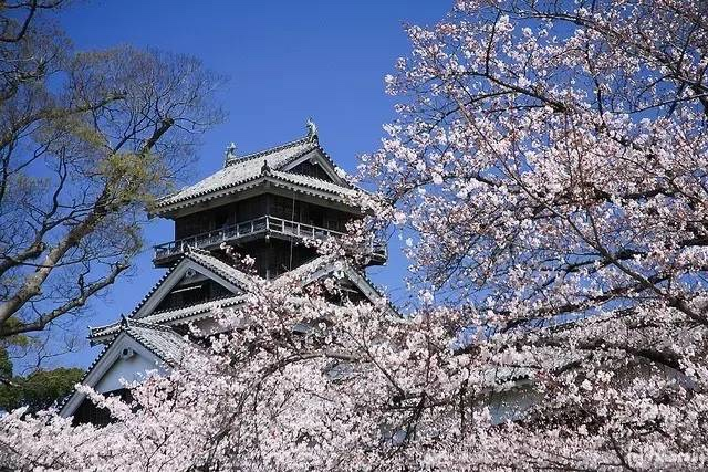 熊本城樱花