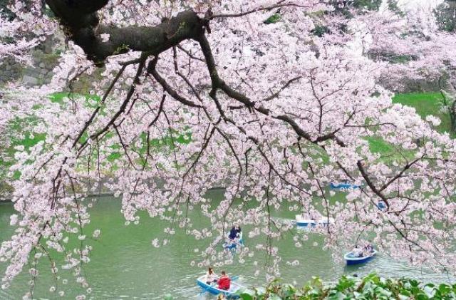 东京樱花什么时候开