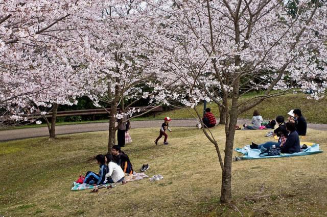 富士山樱花
