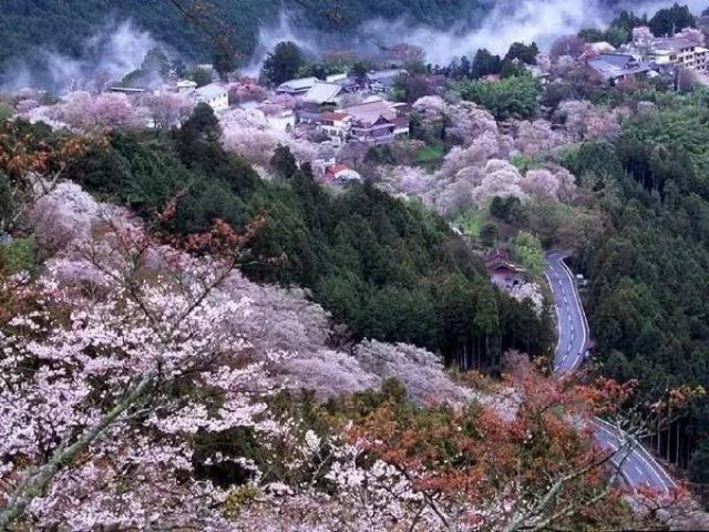 吉野山樱花