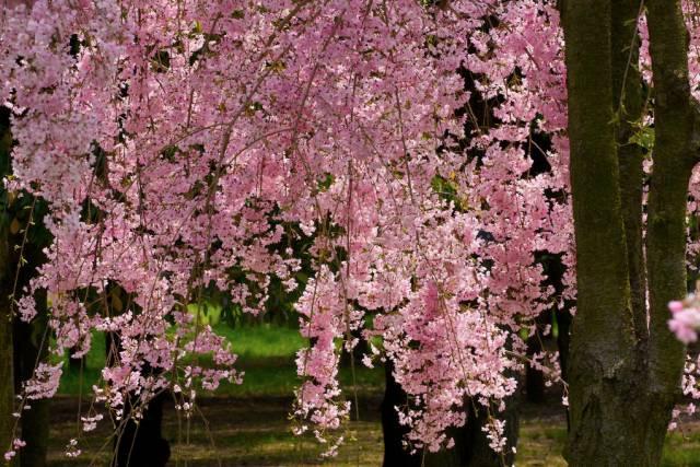 日本樱花季