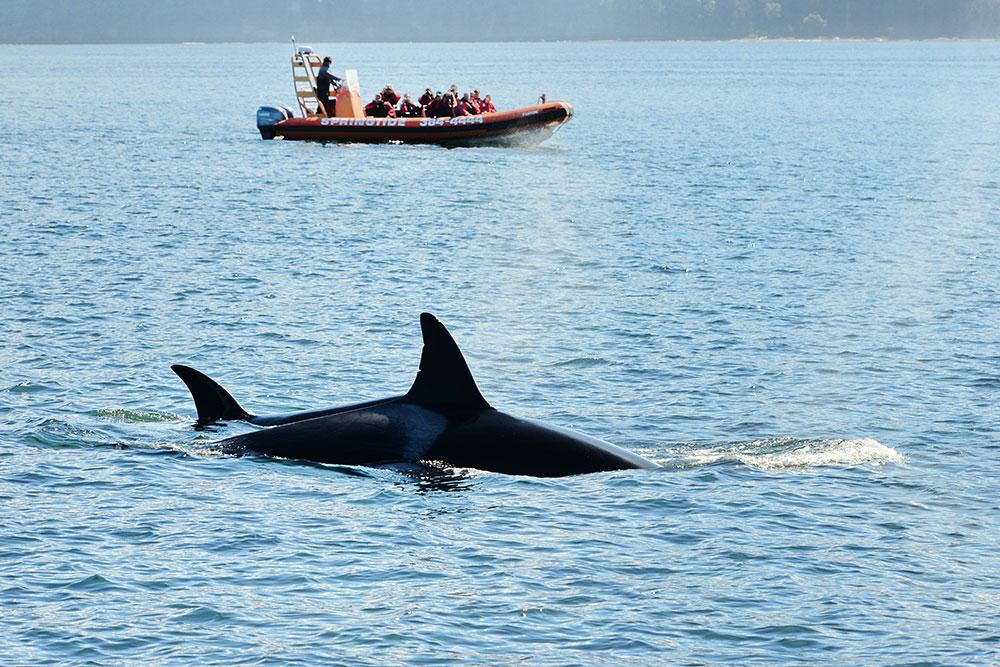 乘坐维多利亚springtide公司的船出海看鲸鱼