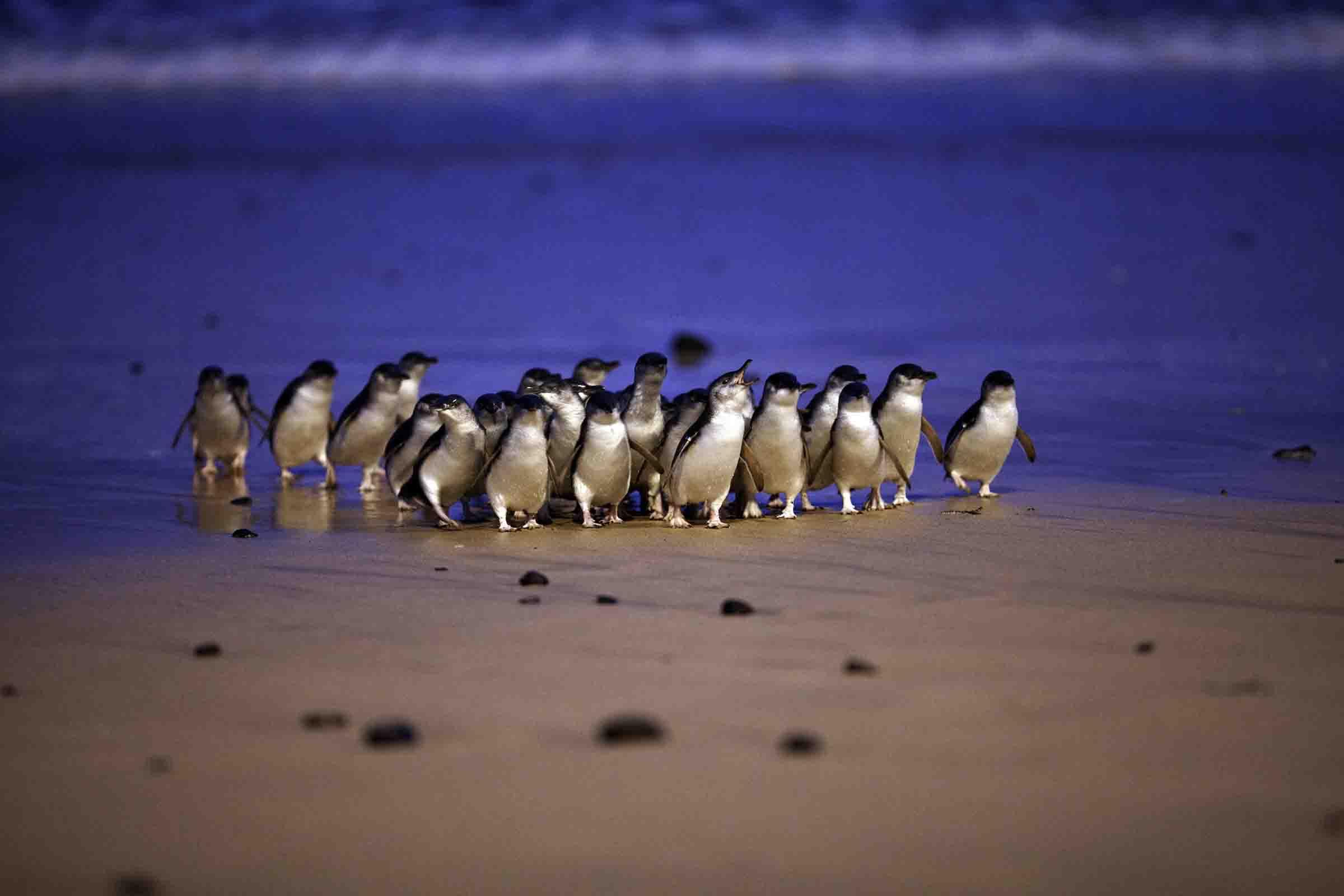 参加墨尔本企鹅岛中文一日游