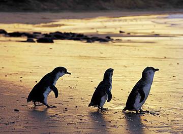 参加melbournetinytours的企鹅岛中文一日游