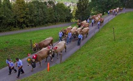 瑞士阿尔卑斯赶牛节