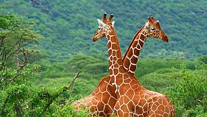 肯尼亚动物狂欢之旅